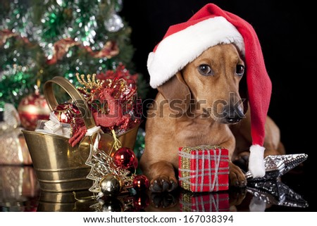 dog dachshund  wearing a santa hat - stock photo