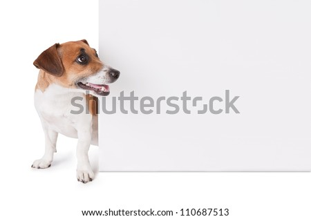 Dog looking out behind poster jack stock photo royalty free dog is looking out from behind a poster jack russell terrier with white empty poster yelopaper Images
