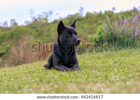 Dog lies on grass , black dog playing on a meadow