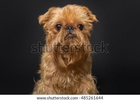 Dog portrait , breed Brussels Griffon on a black background