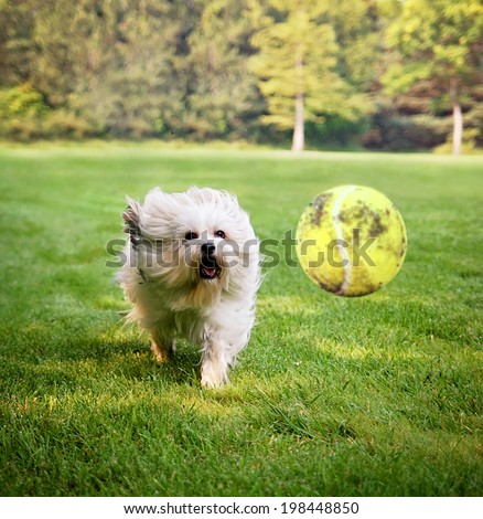 Dog running to try and catch a tennis ball in mid-air  - stock photo