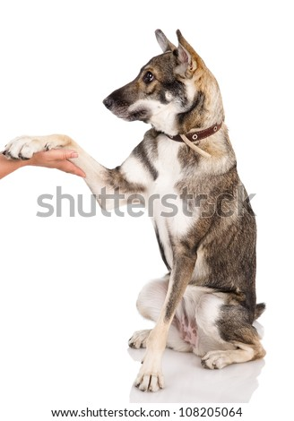 dog shaking hands with a man. isolated on white background.
