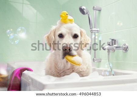 Dog sitting in bathtub with duck on her head and sponge in the mouth