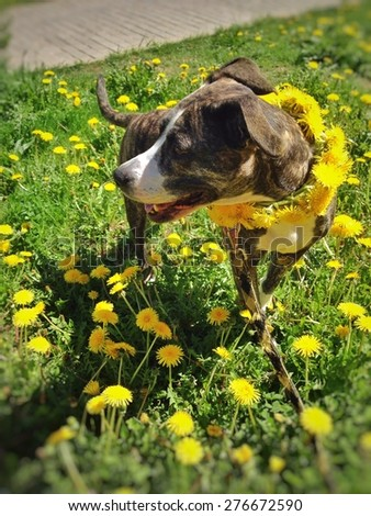 Dog standing surrounded by dandelions during  lunch time walk. Taken in Minsk, Belarus. Foreground and background are blurred.  - stock photo