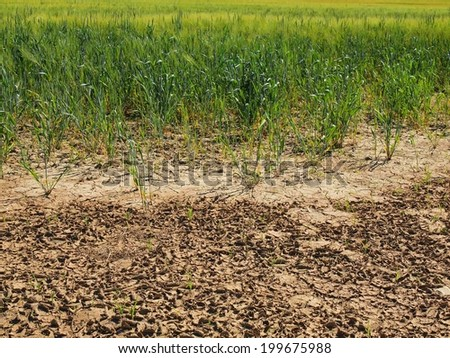 Dry  cracked clay of wheat field. Dusty ground with deep cracks, d - stock photo