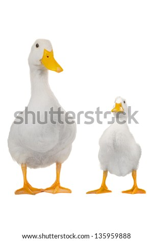 duck and cock  white on white a background