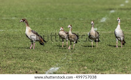 5 Ducks on a grass rugby field