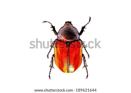 Dynastinae female Adult Elephant Beetle   - stock photo