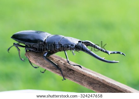 Dynastinae Male  On The Wood - stock photo