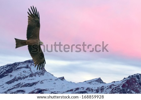 Eagle flying on pink sunset mountain background in winter time - stock photo