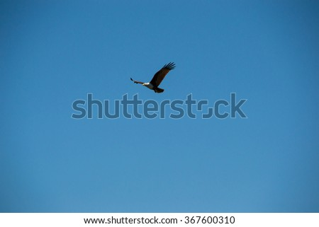 Eagle in flight, looking out for prey - stock photo