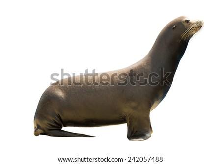 Earless seal (family Otariidae). Isolated  over white background   - stock photo