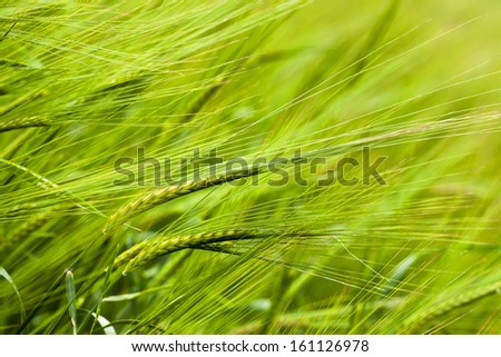 ears of the green unripe wheat photographed by a close up - stock photo