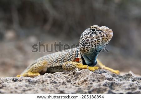 eastern collared lizard sitting on a rock - stock photo