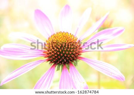 Echinacea purpurea, light pink healing herb - stock photo
