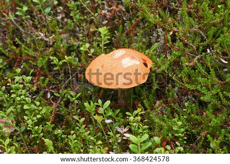 Edible mushroom growing in the forest