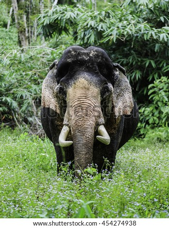 elephant face animal wild head tusk   ivory trade Thailand elephant standing in the forest  - stock photo