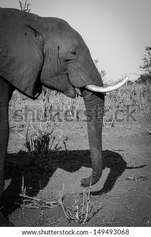 Elephant with a sense of humor, Botswana.