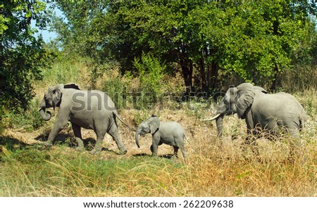 3 Elephants walking into the bush in South Luangwa - stock photo