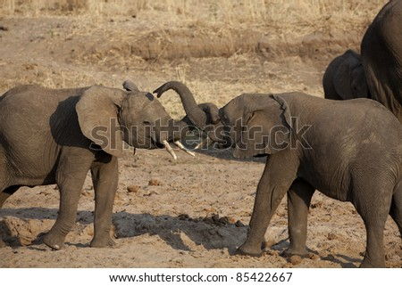 2 elephants with trunks intertwined - stock photo