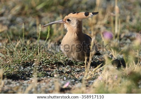 Eurasian Hoopoe Upupa epops  - stock photo