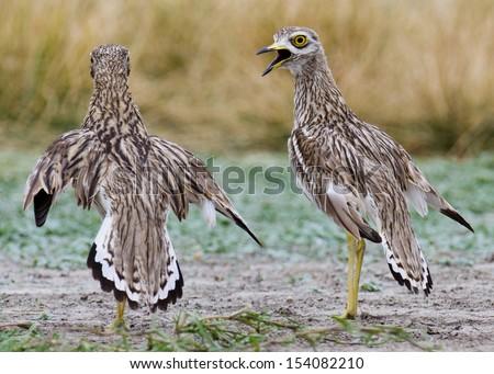 Eurasian or Indian Thick-Knee   Burhinus oedicnemus or indicus - stock photo