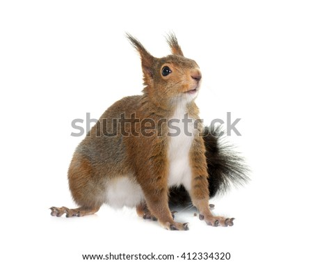 Eurasian red squirrel in front of white background - stock photo