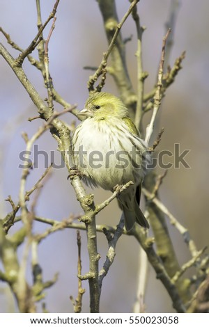Eurasian Siskin, Carduelis spinus,female, song bird sitting on the branch