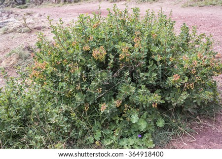 European Barberry, Berberis vulgaris. Photo taken in Saliencia Valley, Somiedo Nature Reserve. It is located in the central area of the Cantabrian Mountains, Asturias, in northern Spain - stock photo