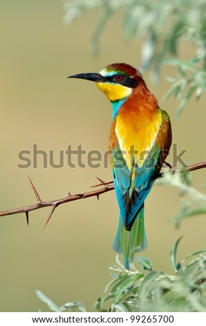 european bee-eater outdoor - stock photo