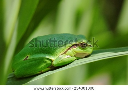 European green tree frog (Hyla arborea)