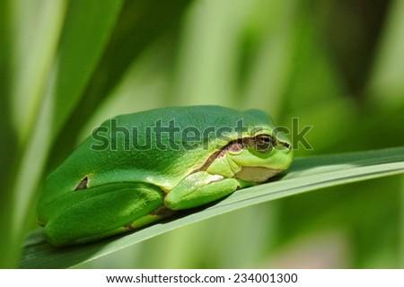 European green tree frog (Hyla arborea) - stock photo