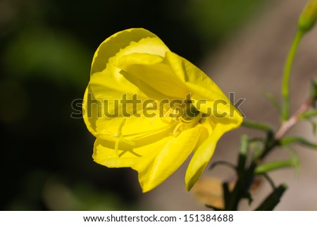 """""""Evening primrose (Oenothera biennis). Close up of one flower on green background.  - stock photo"""