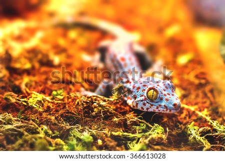 exotic animal tokay gecko lizard