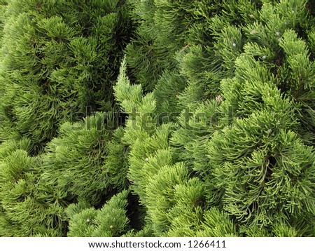 Extreme close-up of a ornamental pine-useful green natural texture