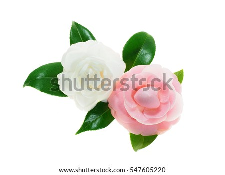 Extreme Depth of Field Photo of a Pink and White Camellia Isolated on White