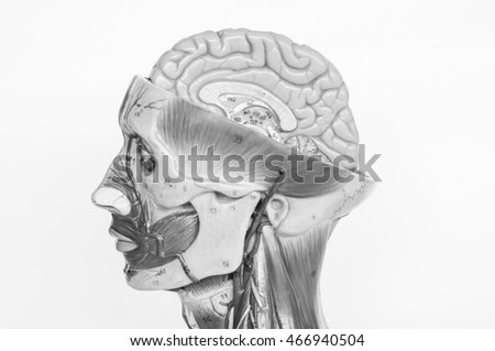 face muscle and brain of human anatomy with black and white color