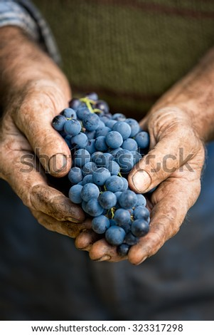 Farmers hands with cluster of grapes, farming and winemaking concept - stock photo