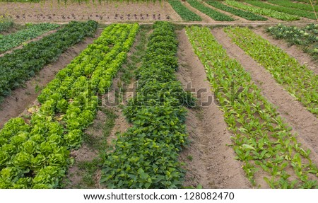 farmland-- Lactuca sp.,Brassica rapa pekinensis. All of them are very important for human civilization