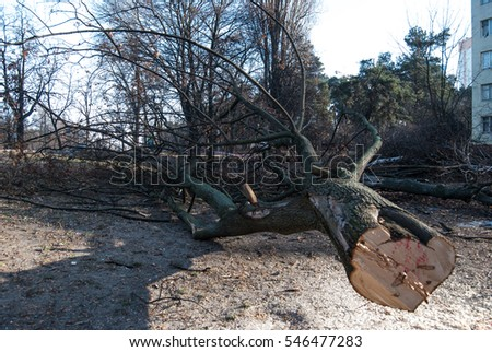 felled trees in winter on a background of the old five-storey buildings on the outskirts of the city