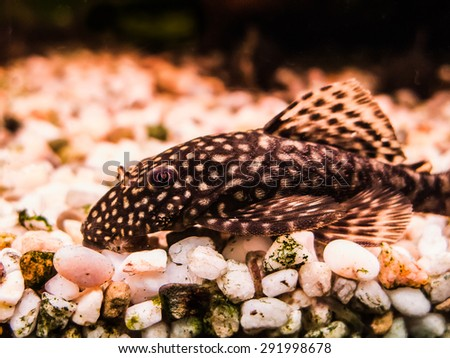 Female Ancistrus (Bristle-nose Catfish) - stock photo