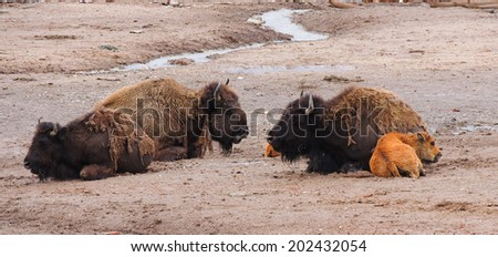 female bison and young  resting in the hayden valley, yellowstone national park, wyoming         - stock photo