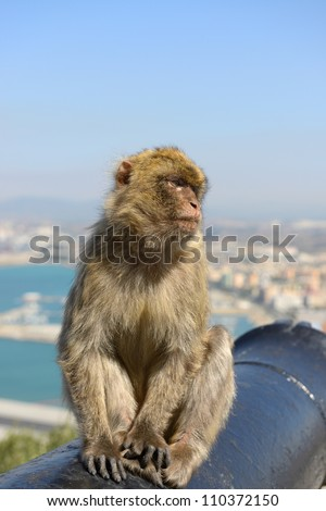 Female Gibraltar Monkeys or Barbary Macaques seating on the cannon - stock photo