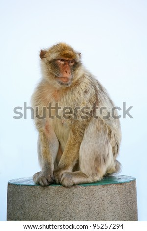 Female Gibraltar Monkeys or Barbary Macaques sitting on concrete pole that is from the lookout of the city on top of the rock above Gibraltar. - stock photo