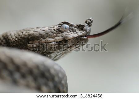 female horned viper (Vipera ammodytes) portrait and tongue - stock photo