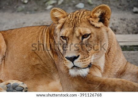 Female lion (Panthera leo)