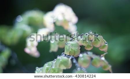 Fern leave close up, Water Drops on Fern, Macro photo. - stock photo