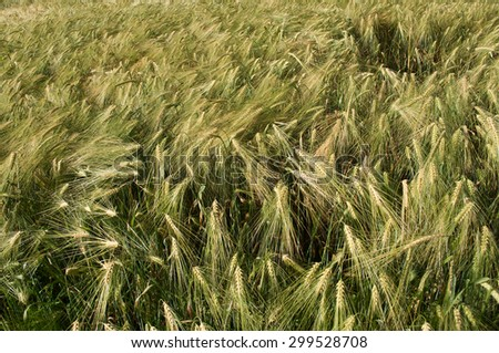 Field corn rye  - stock photo