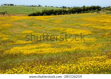 Field covered with blooming wild yellow daisy flowers and trees at background. South of Portugal. - stock photo