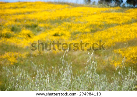 Field covered with blooming wild yellow daisy flowers and trees at background. South of Portugal. Selective focus on the spikes at foreground. - stock photo
